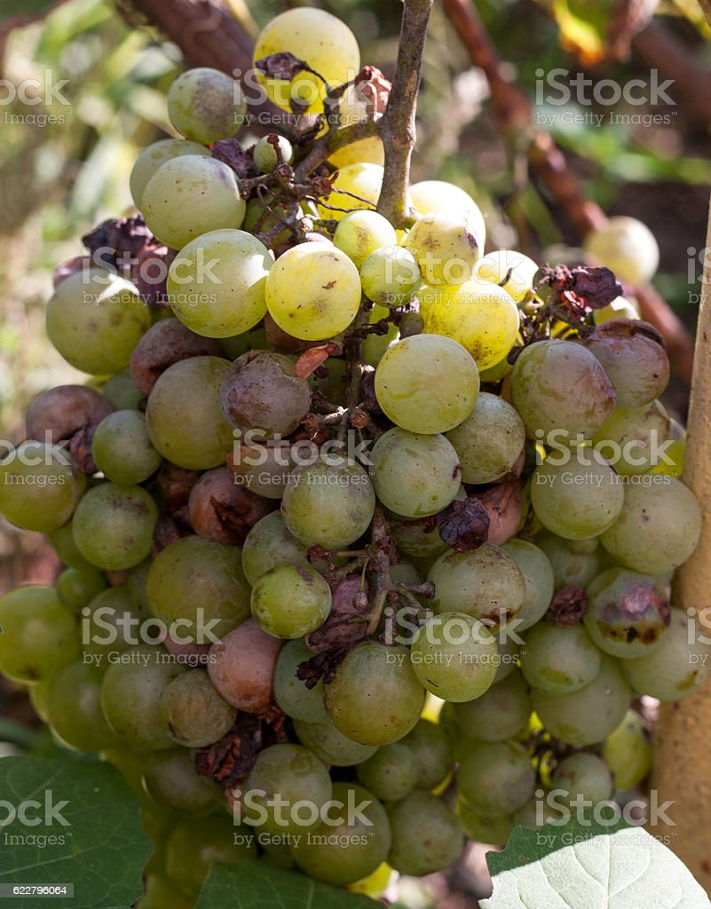 bunch of overripe rotting white grape closeup stock photo