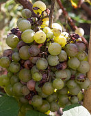 bunch of overripe rotting white grape closeup