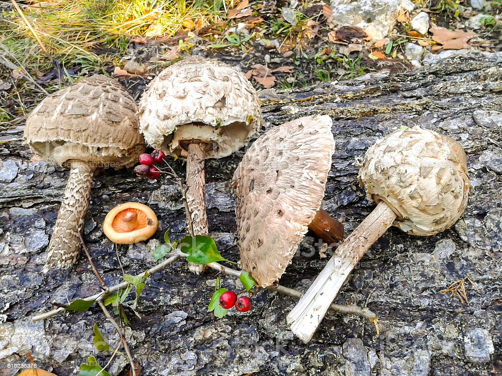 Bunch of Parasol mushrooms stock photo