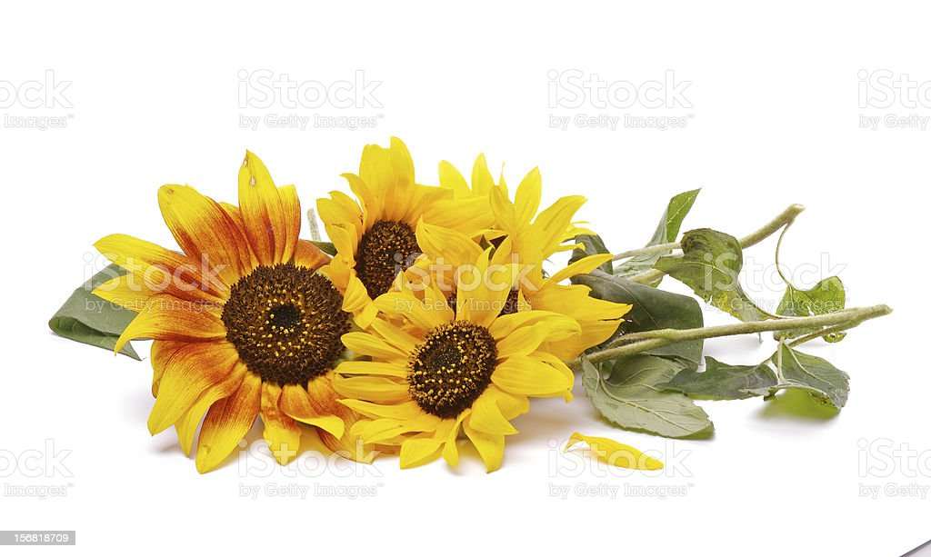 Bunch of Perfect Sunflowers royalty-free stock photo