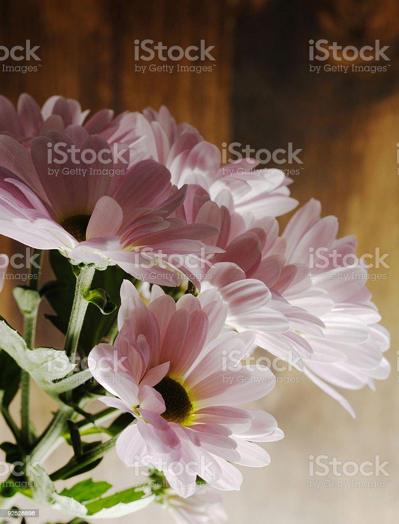 bunch of pink gerbera daisy flowers stock photo