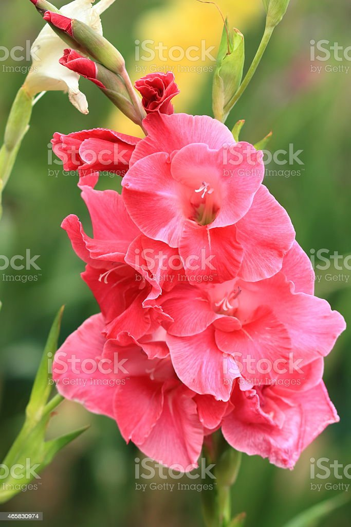 Bunch of pink gladiolus in the garden stock photo