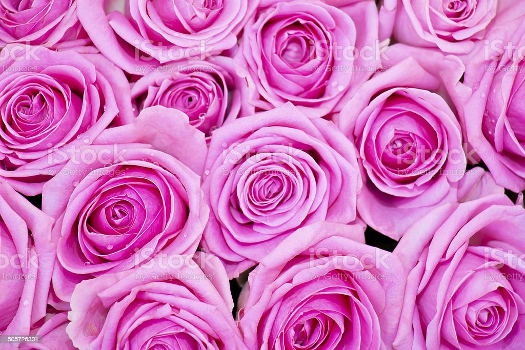 Bunch of Pink Roses with Dew Drops royalty-free stock photo