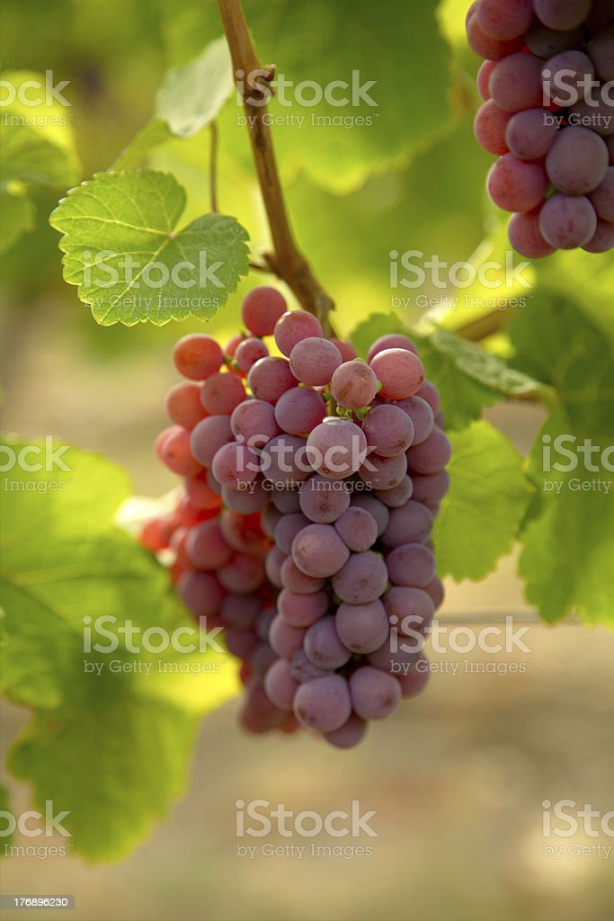 Bunch of Pinot Noir grapes. stock photo