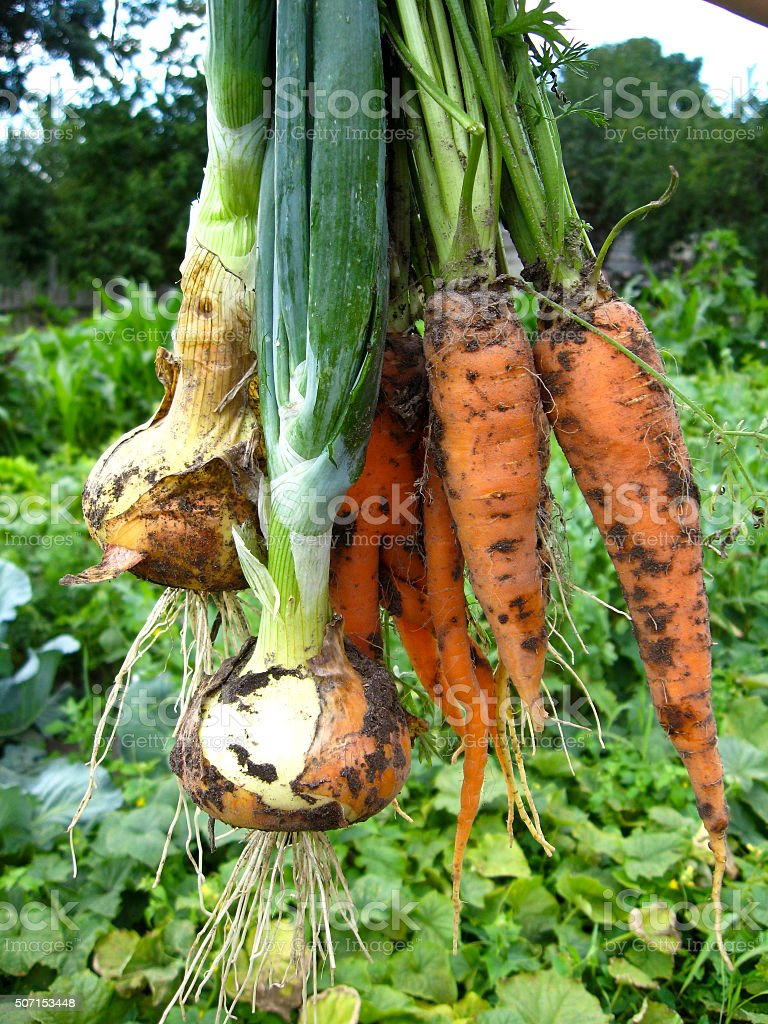 bunch of pulled out carrots and leeks stock photo