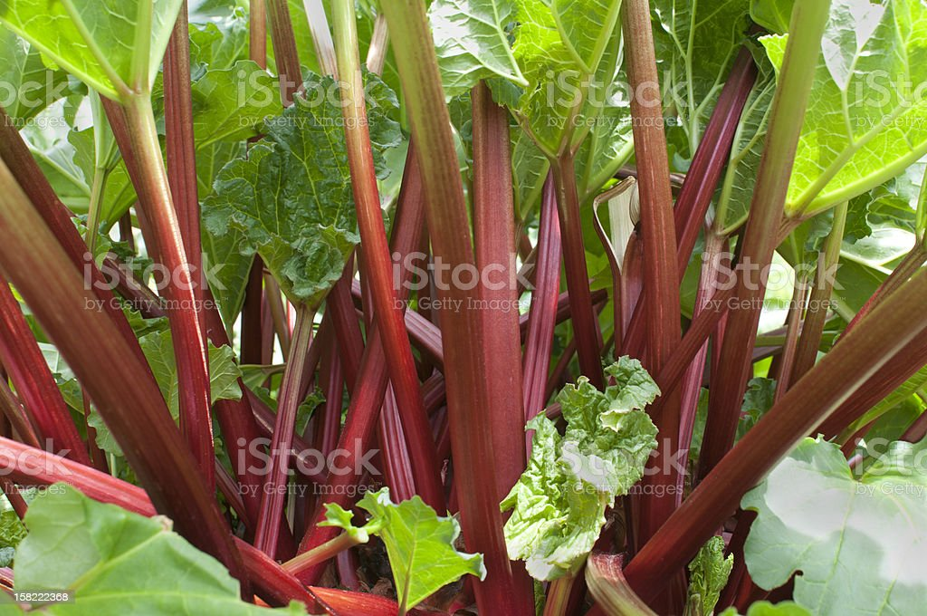 A bunch of red and green rhubarb stock photo