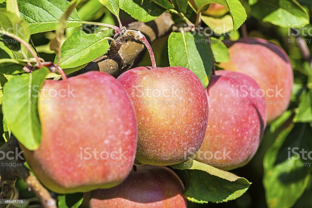 Bunch of red Apples royalty-free stock photo