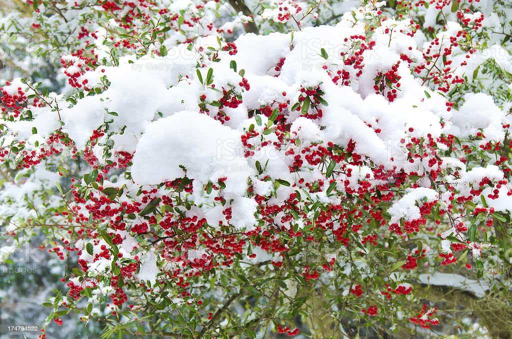 Bunch of red ashberry covered with snow. royalty-free stock photo