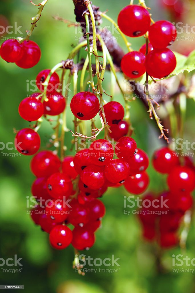 Bunch of red currants on the bush royalty-free stock photo