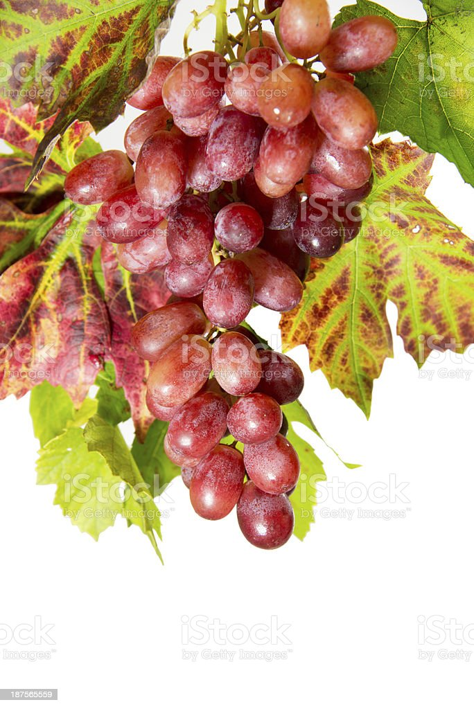 Bunch of red purple grapes autumn leaves on white background royalty-free stock photo