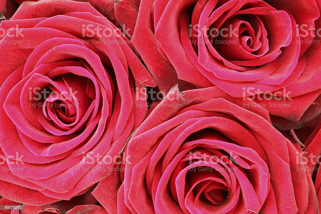 Bunch of Red Roses XL royalty-free stock photo