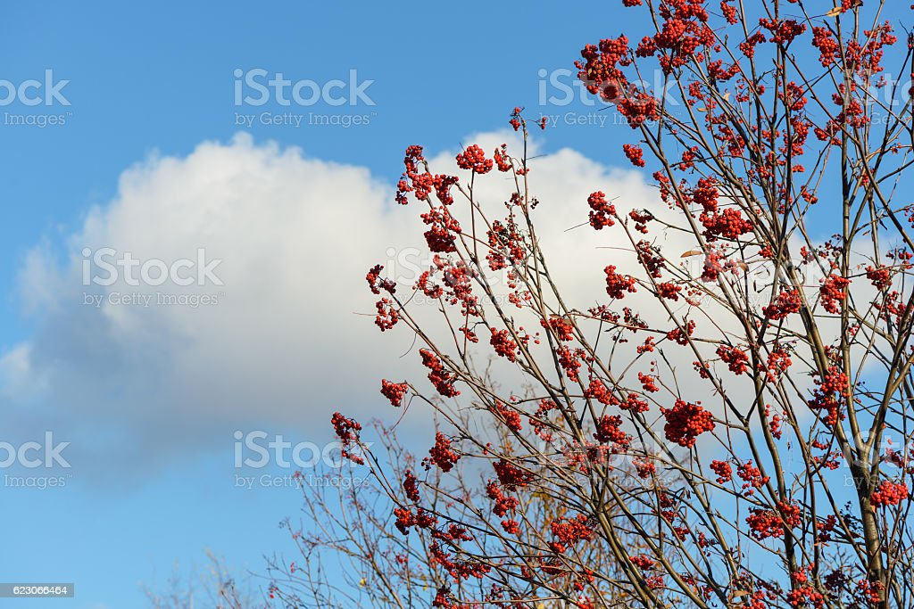 bunch of red rowan on a background of blue sky stock photo