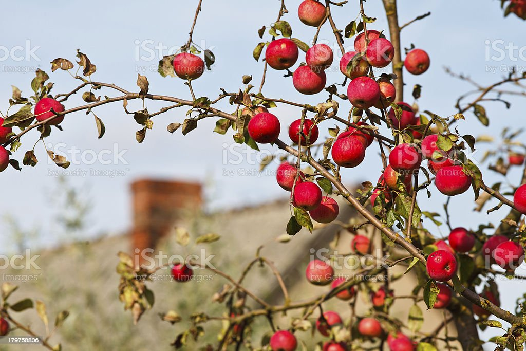Bunch of ripe apples against country house royalty-free stock photo
