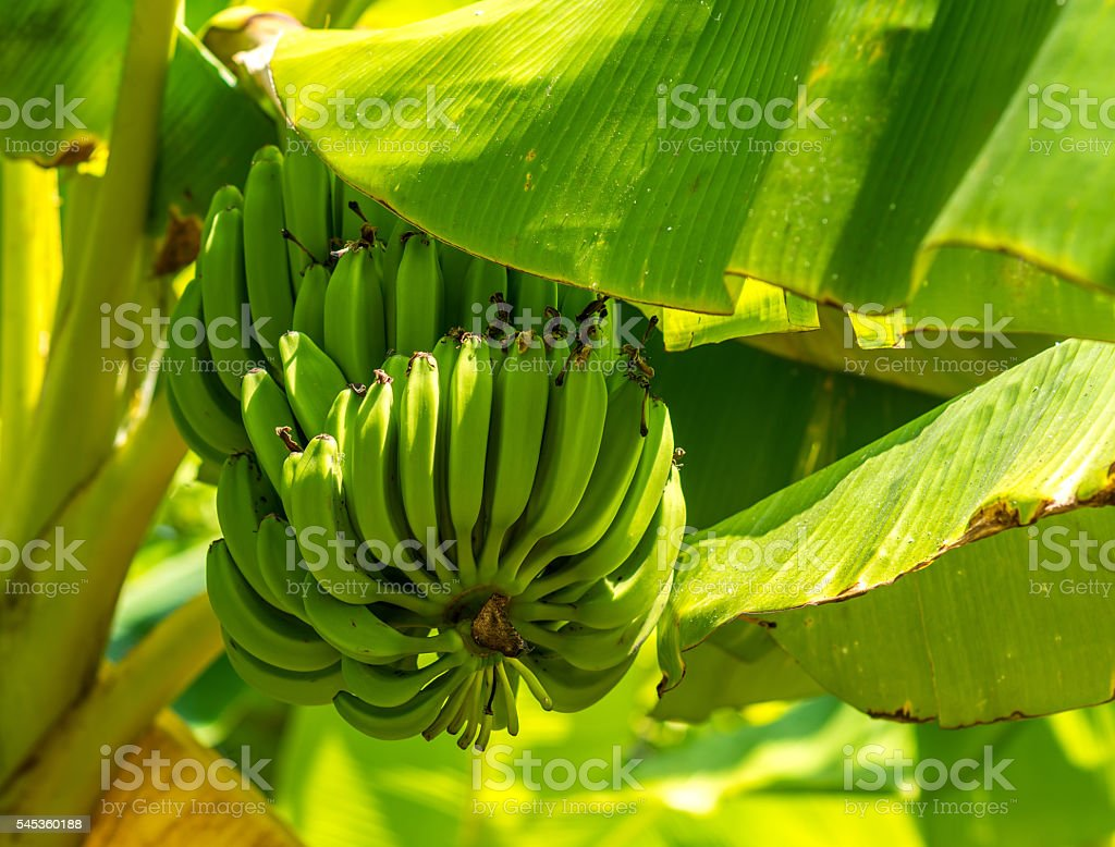 Bunch of ripe bananas on tree. Agricultural plantation stock photo