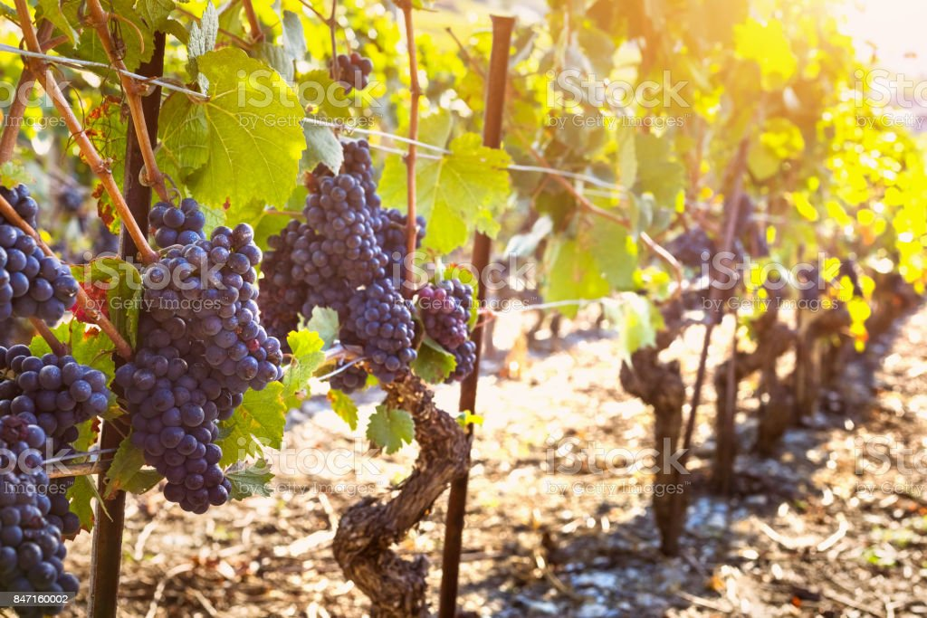 Bunch of ripe black grape, vine sunny autumn vineyards, harvest stock photo