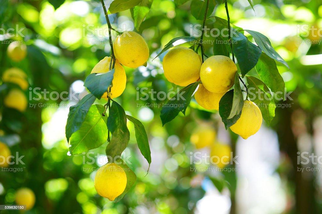 Bunch of ripe lemons on a lemon tree branch stock photo