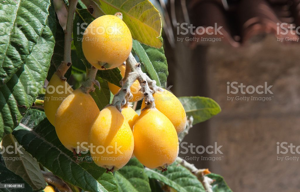 Bunch of ripe loquats in tree. stock photo