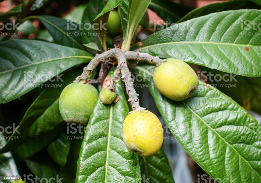 Bunch of ripe loquats stock photo