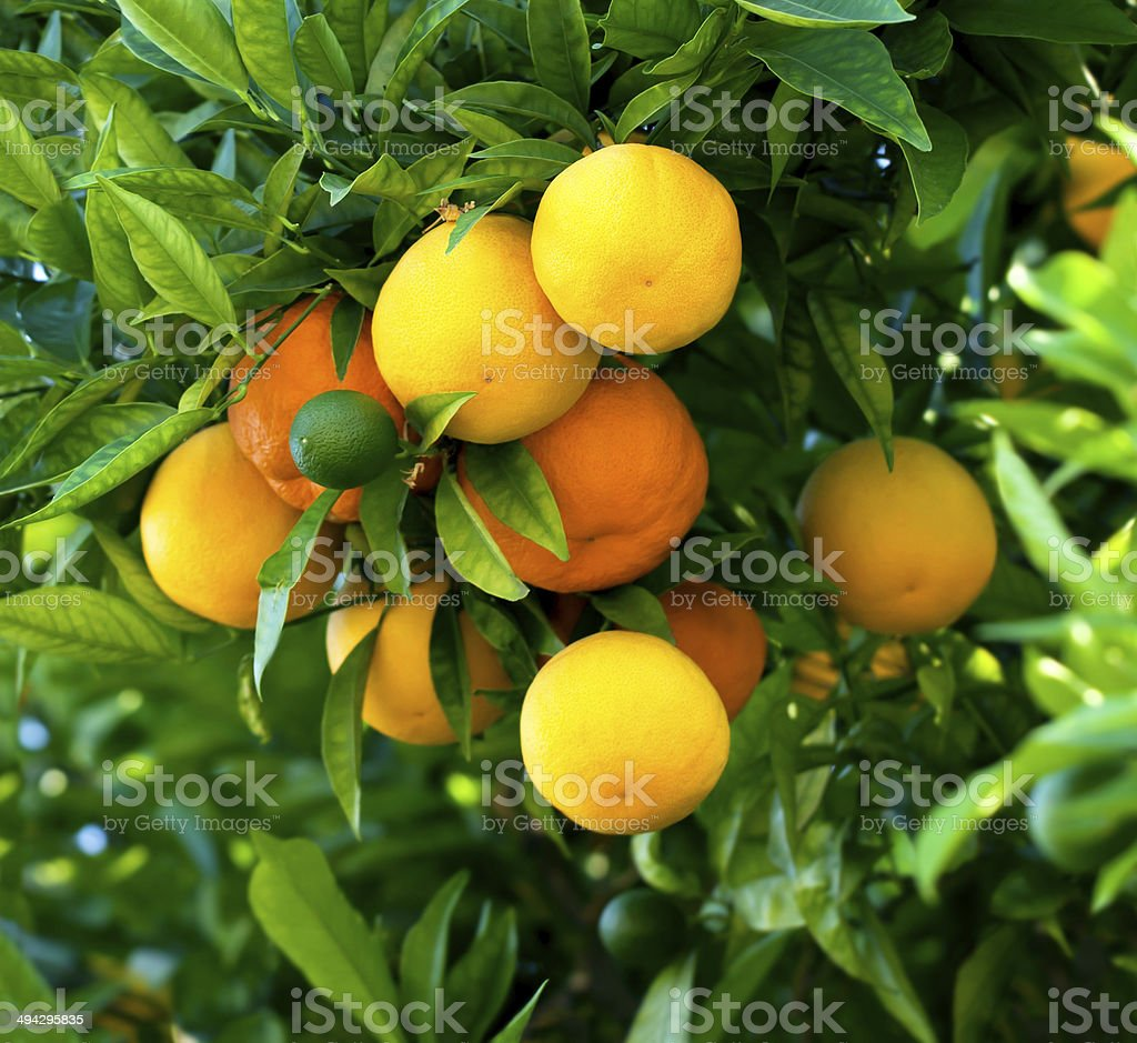 Bunch of ripe oranges hanging on a tree stock photo
