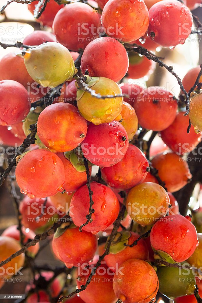 bunch of ripe red areca palm stock photo
