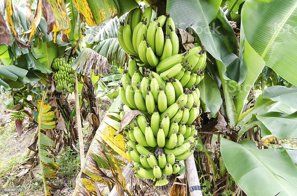 Bunch of ripening bananas on tree stock photo