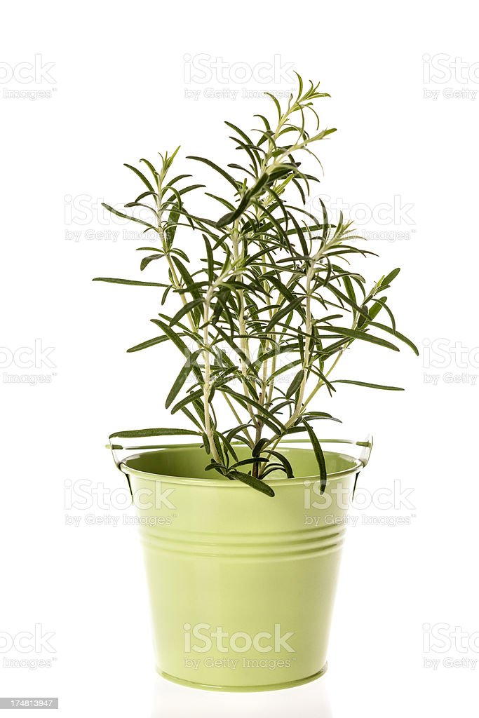 Bunch of rosemary in pot isolated on white royalty-free stock photo