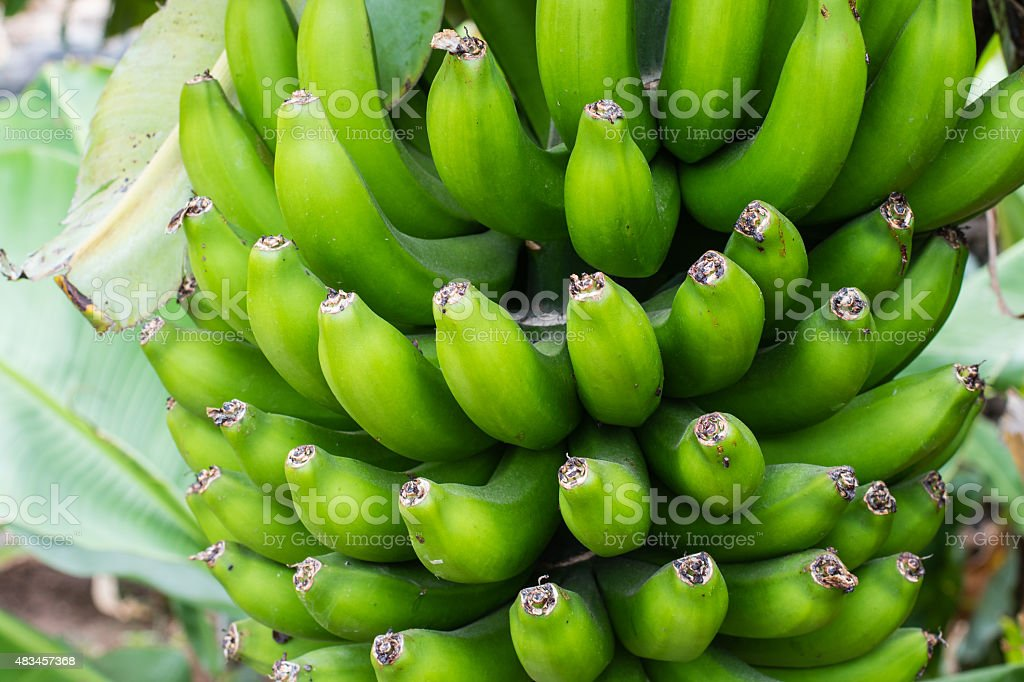 Bunch of small green bananas stock photo