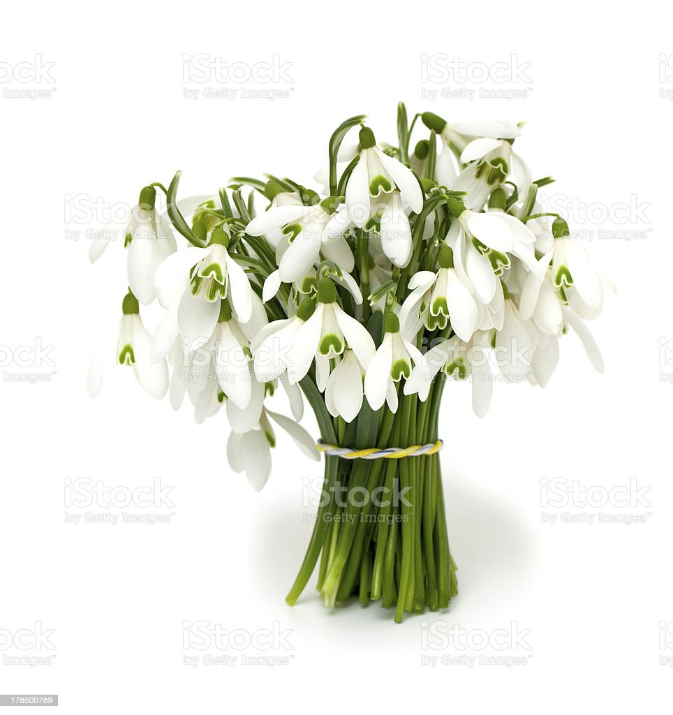 bunch of snowdrops royalty-free stock photo