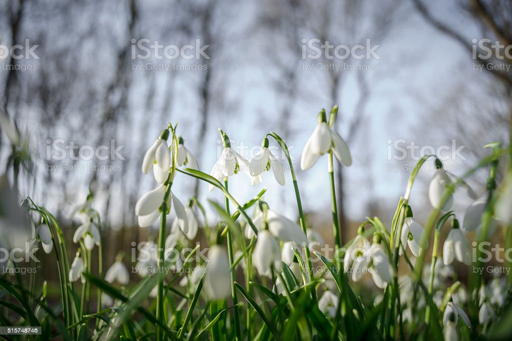 Bunch of Snowflake or Snowdrop flower in bloom. stock photo