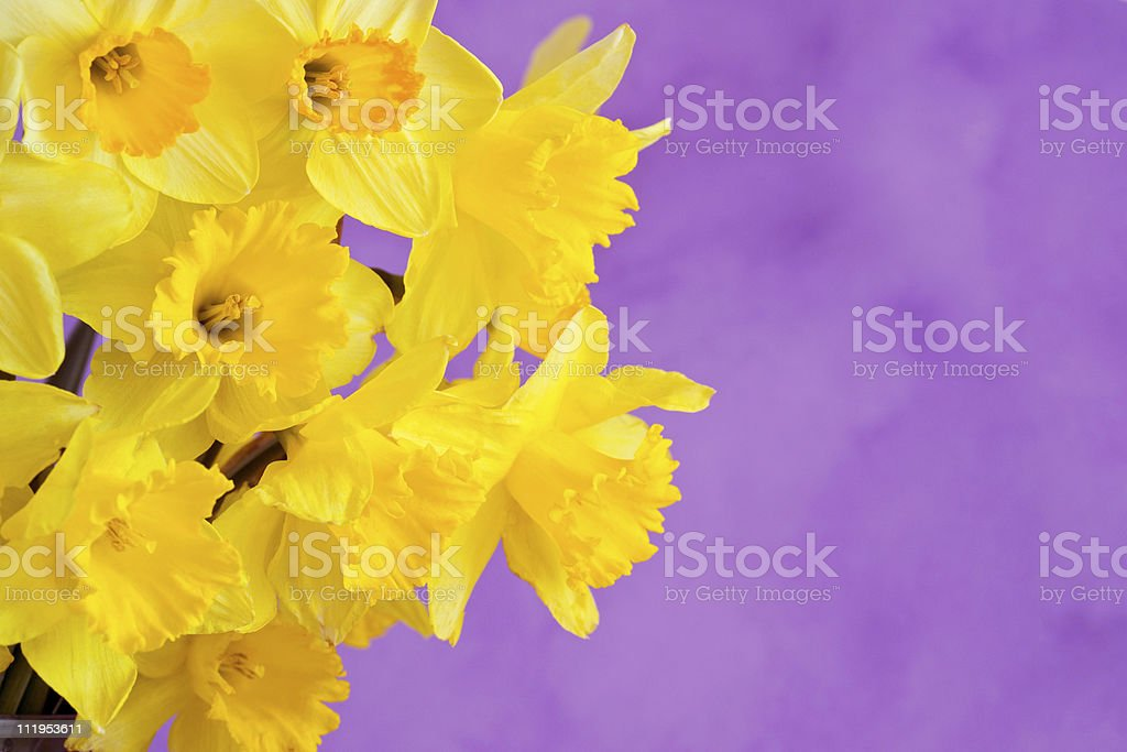 Bunch of spring daffodils on lilac background royalty-free stock photo