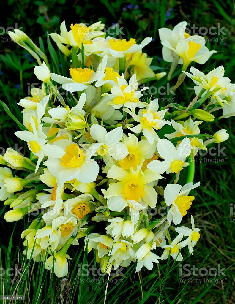 Bunch of Spring Daffodils stock photo