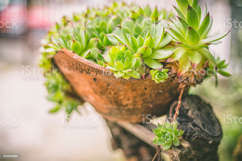 bunch of succulent sempervivum tectorum on the ground in sunshine stock photo