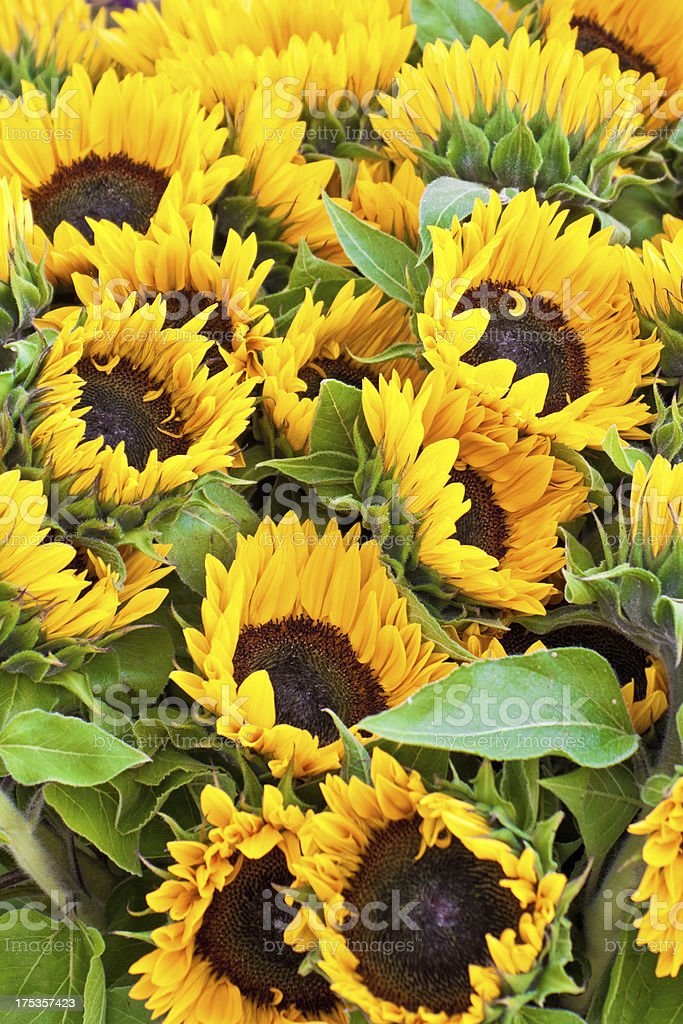 bunch of sunflowers royalty-free stock photo
