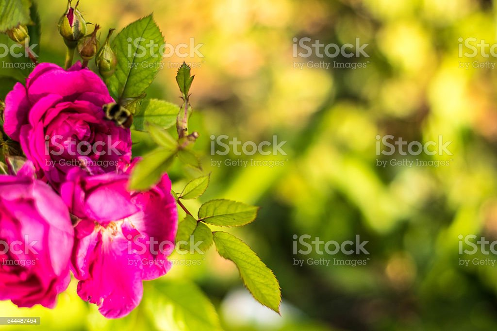 Bunch of three Roses stock photo