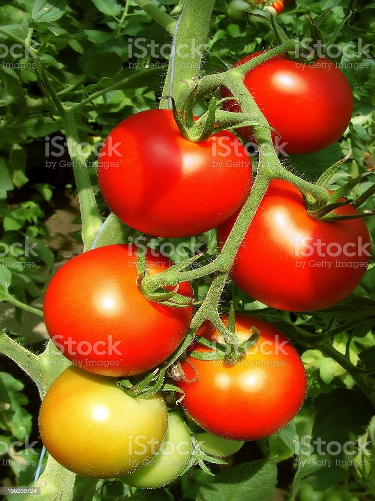 Bunch of tomatoes royalty-free stock photo