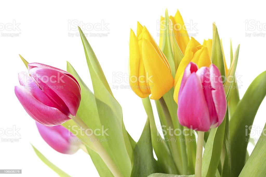 Bunch of Tulip Flowers Pink Yellow Isolated on White stock photo