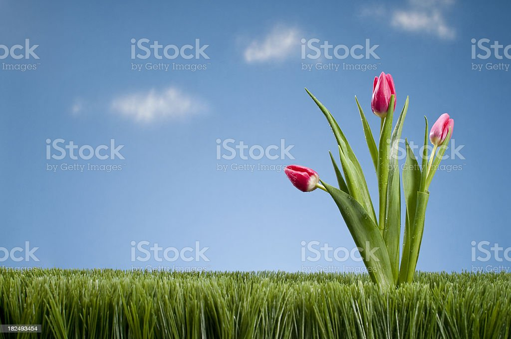 Bunch of Tullips Growing In The Grass royalty-free stock photo