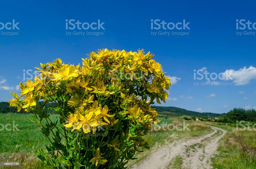 Bunch of tutsan or St. John's wort (Hypericum)  yellow stock photo