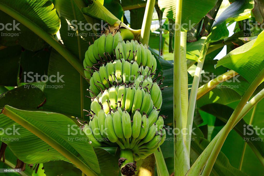 Bunch of unripe bananas hanging from branch of tree stock photo