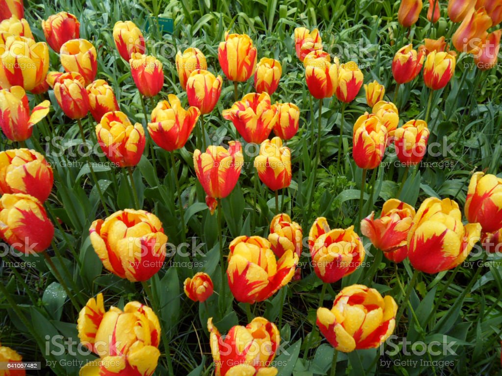 Bunch of vibrant yellow and red blooming Tulips with green leaves stock photo