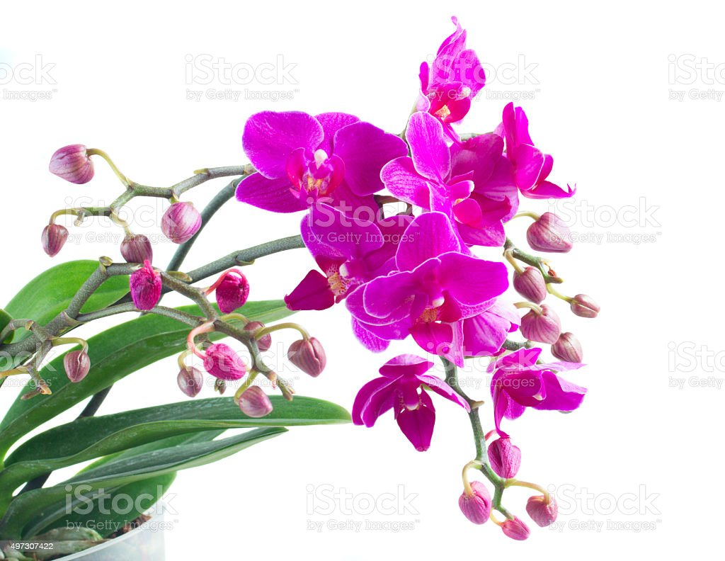 Bunch of violet orchids stock photo