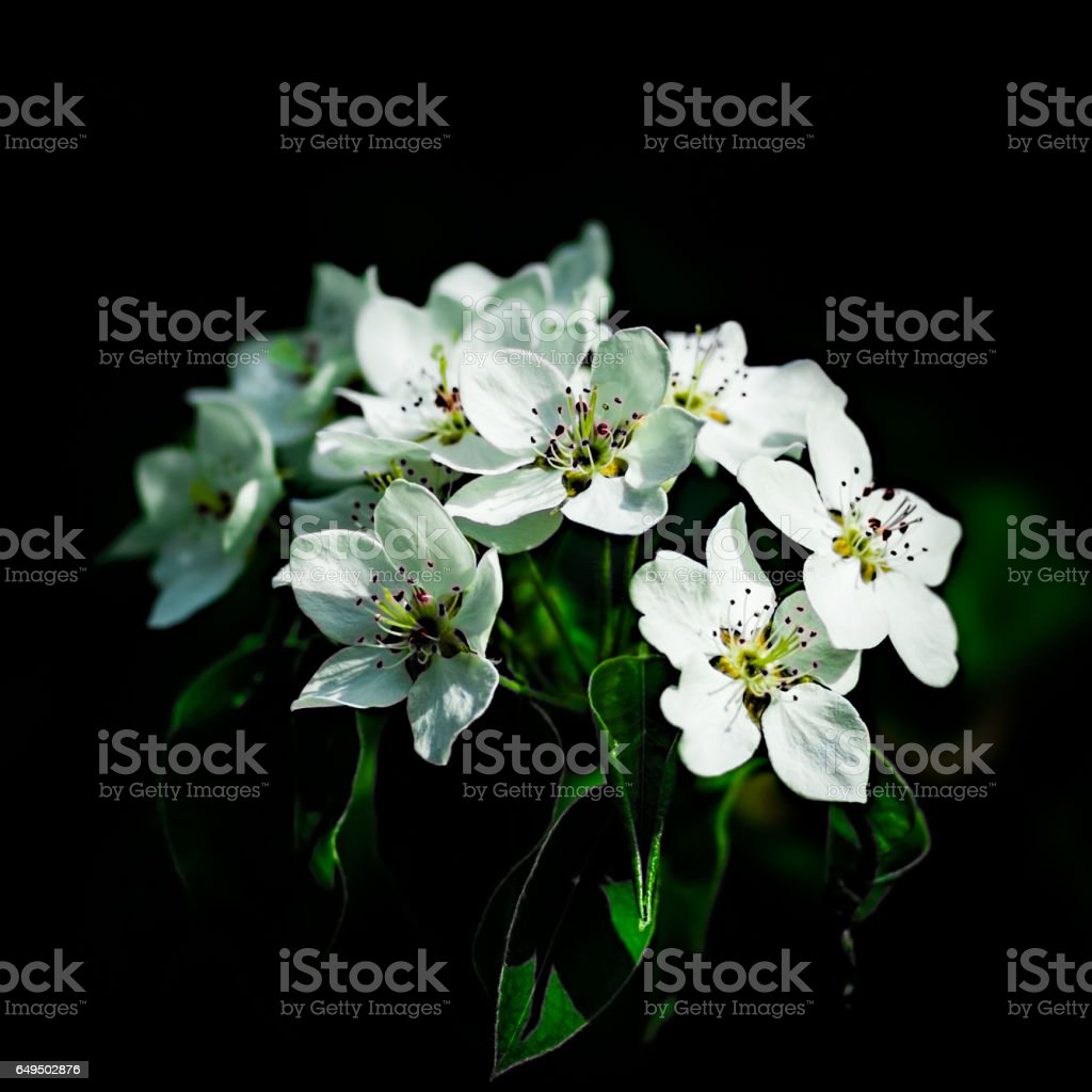 Bunch of white apple blossoms stock photo