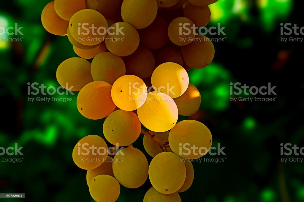 bunch of white grapes in the shade royalty-free stock photo