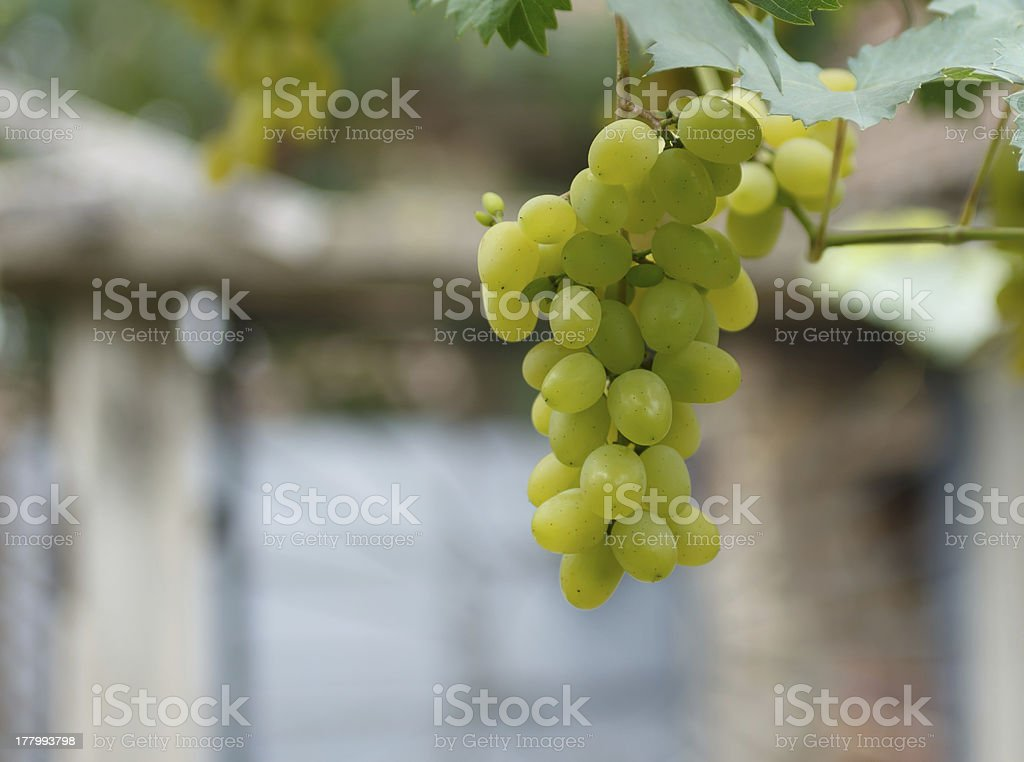 bunch of white grapes royalty-free stock photo