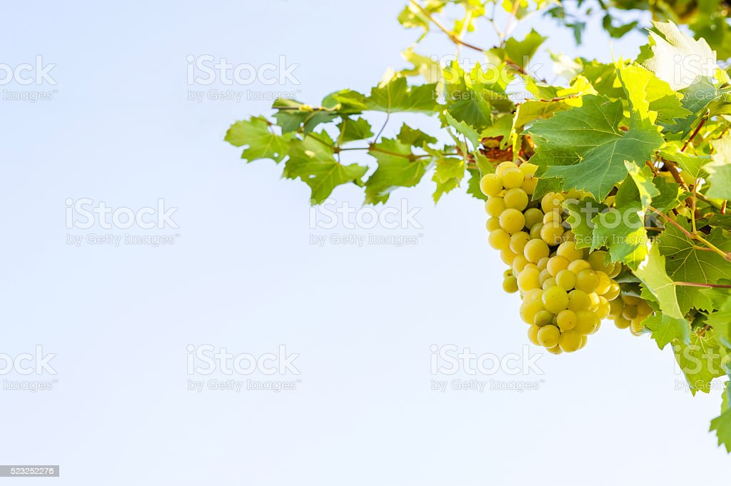 bunch of white grapes stock photo