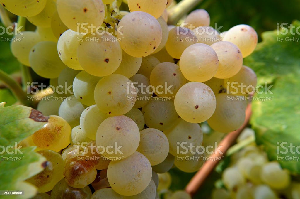 Bunch of white grapes still on the vineyard stock photo