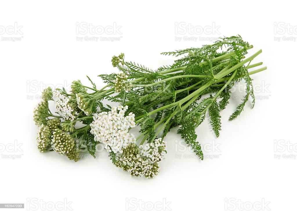 Bunch of Yarrow herb on white background stock photo