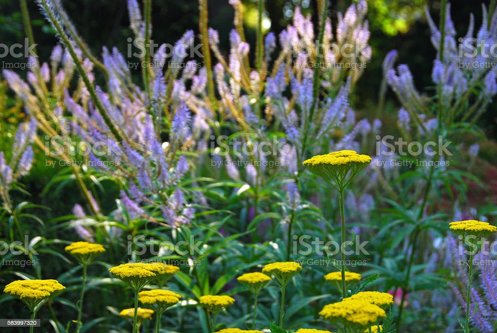 Bunch of yellow Achillea standing infront of  Veronicastrum. stock photo
