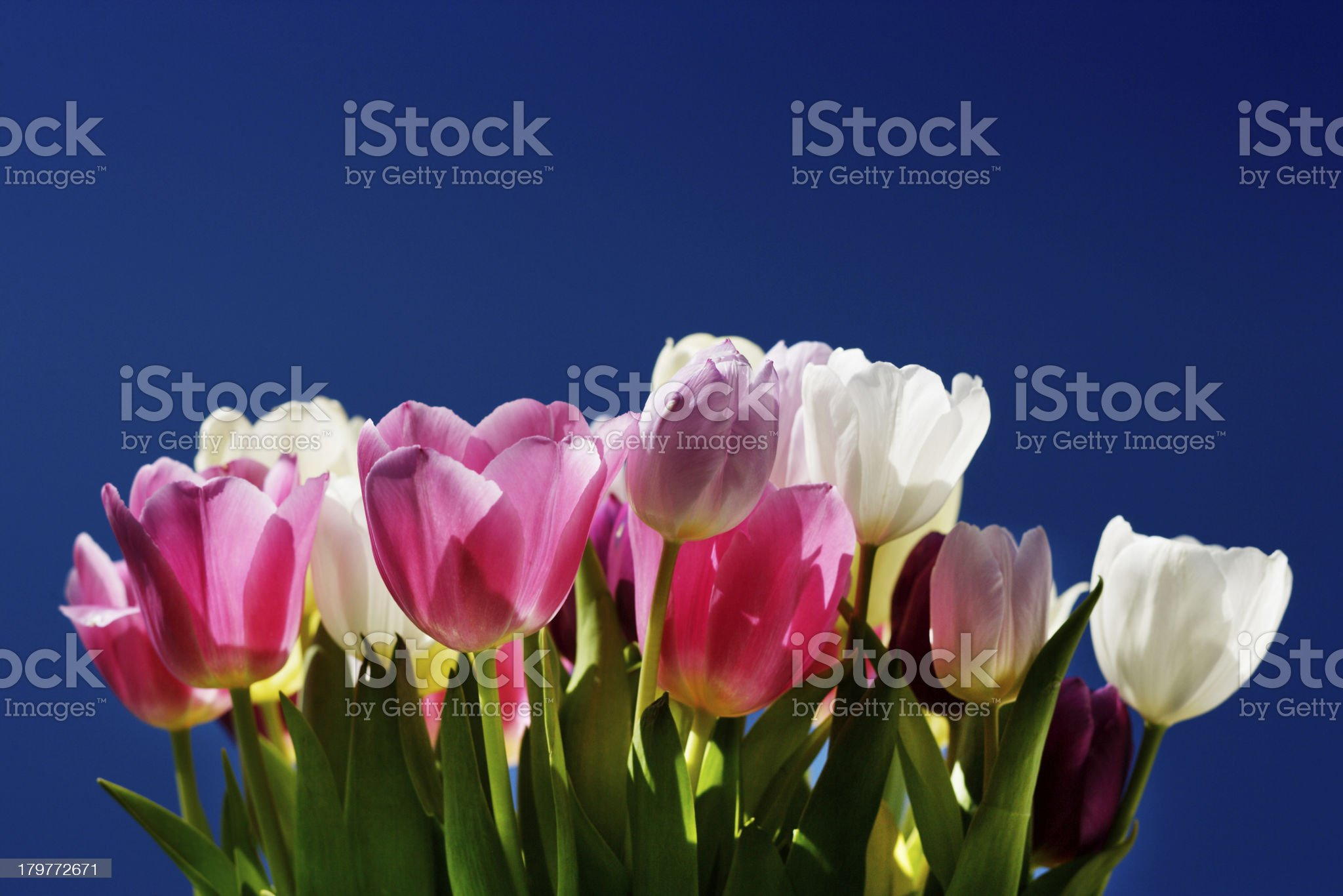 bunch of yellow and pink tulips against the blue sky royalty-free stock photo
