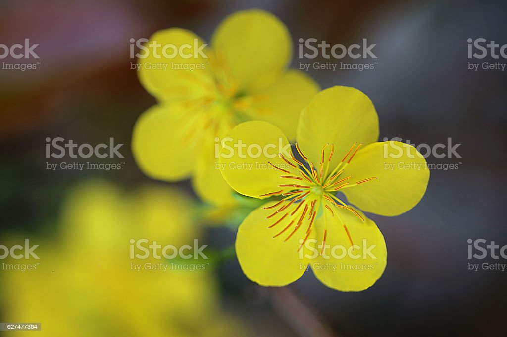 Bunch of Yellow Apricot flower in the spring stock photo